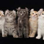 American Curl Cat Breed - Miniature Cats