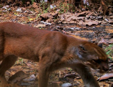 Bornean Bay Cat - Types of Wild Cats