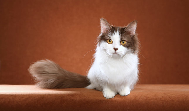 American Curl Mini Cat Breeds