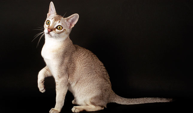 Top 10 Smartest Cat Breed