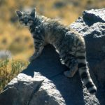 The Andean Mountain Cat - Types of Wild Cats