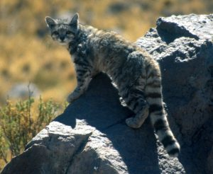 The Andean Mountain Cat