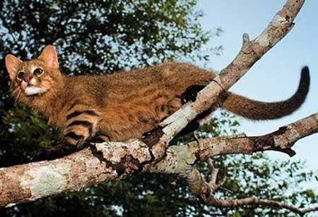 The Pampas Cat - Types of Wild Cats